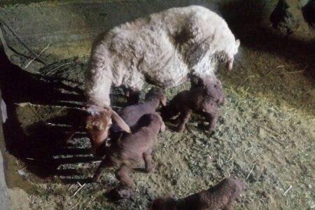 تولید گوسفند مغانی چند قلوزا
