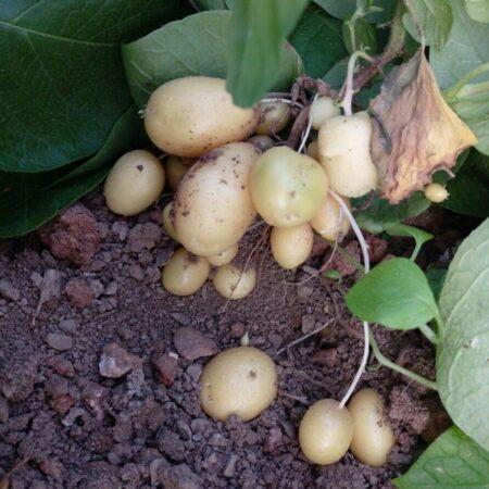 کشت بافت ارقام مختلف سیب زمینی به منظور تولید گیاهچه های عاری از هرگونه بیماری های ویروسی، قارچی و باکتریایی و انتقال گیاهچه ها به گلخانه یا مزرعه جهت تولید بذر مادر